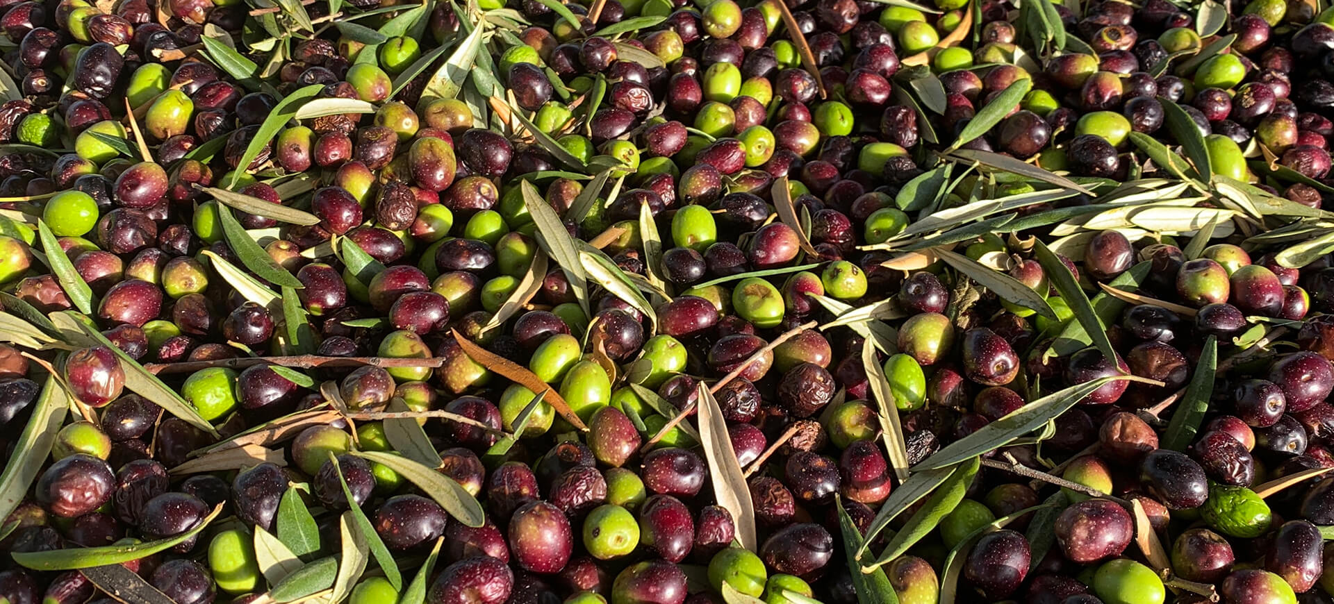 Olives: A Brief History